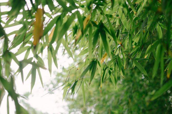Beautiful Green Bamboo